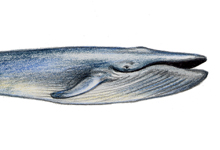 Whale Illustration